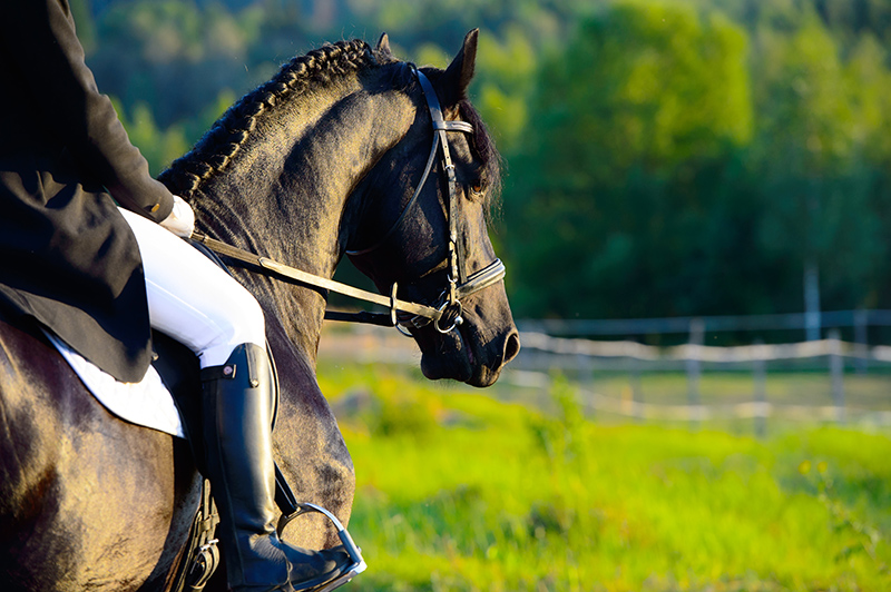 Riding on the blach friesian horse in the sunset